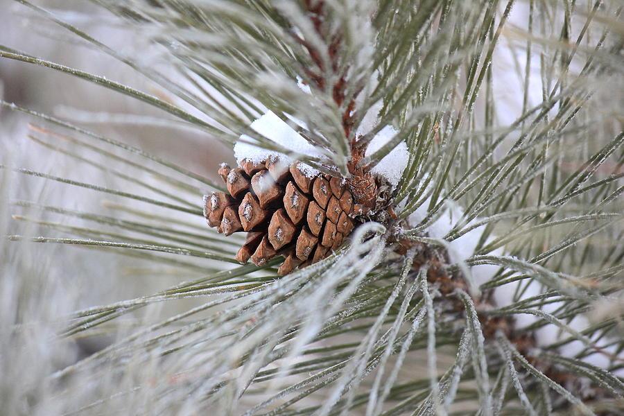 Snowy Pine Photograph