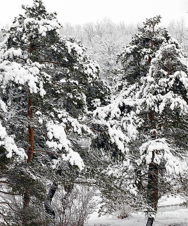 Snowy Pines Photograph