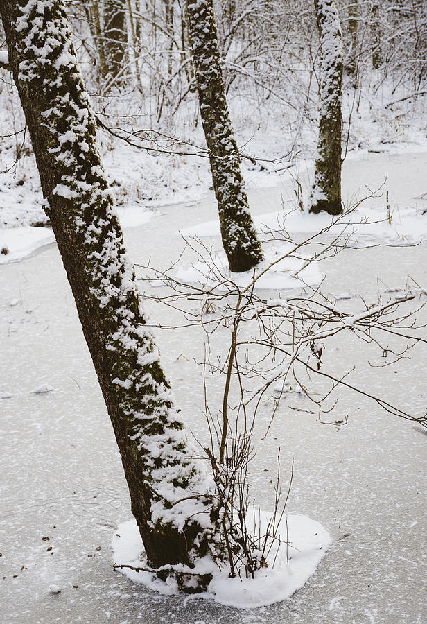 Snowy Trees In Frozen Pond - Winter Forest Photograph