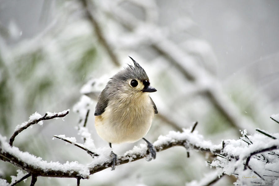 Snowy Tufted Titmouse Digital Art