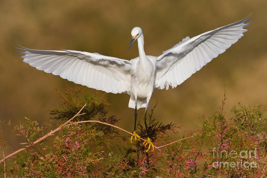 Egret Photograph - Snowy Wingspread by Bryan Keil