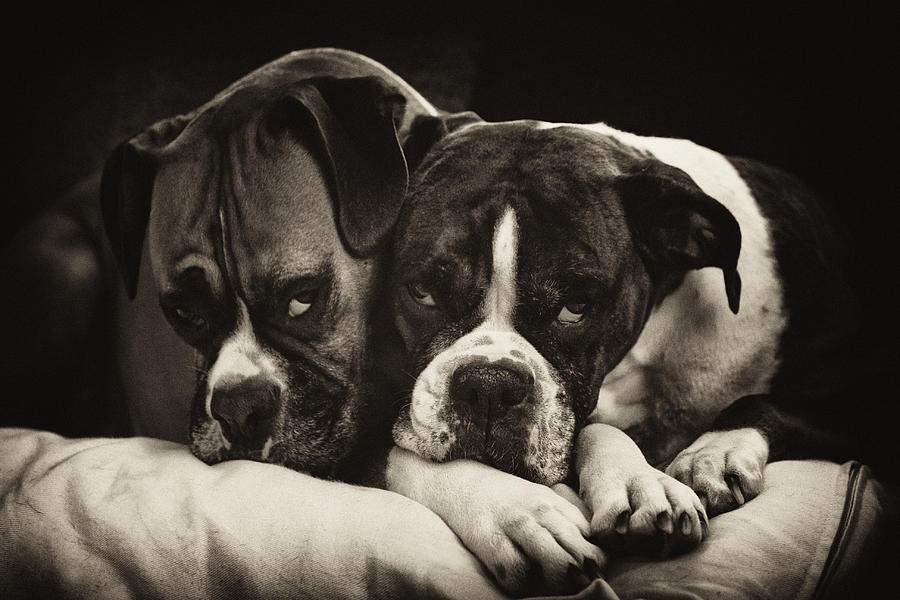 Snuggle Bug Boxer Dogs Photograph  - Snuggle Bug Boxer Dogs Fine Art Print