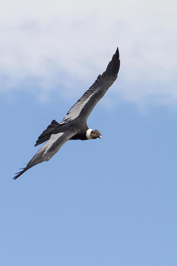 Soaring Condor Photograph
