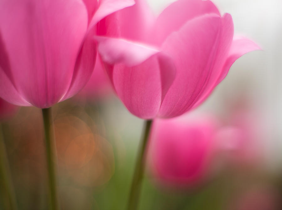 Flower Photograph - Soaring Pink Tulips by Mike Reid