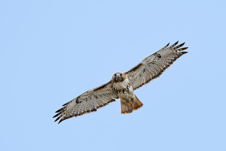 Soaring Red Tail Photograph