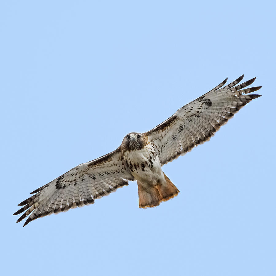 Soaring Red Tail Square Photograph