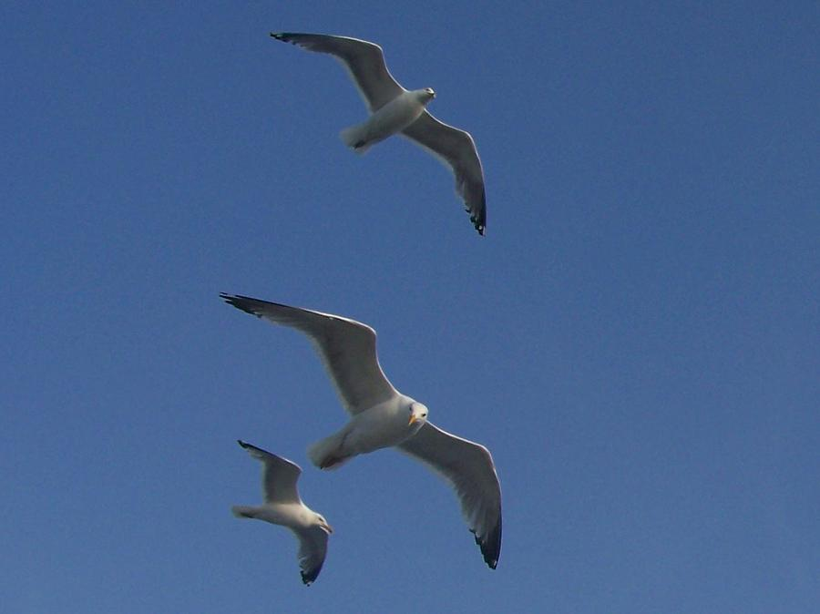 Seagulls Photograph - Soaring Seagulls by Noreen HaCohen