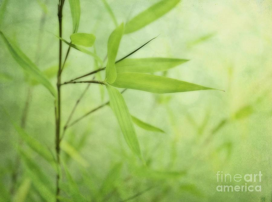 Soft Bamboo Photograph