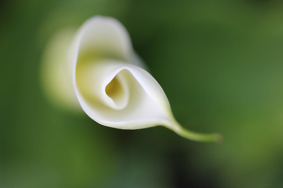 Soft Beginnings Calla Lily Flower Photograph  - Soft Beginnings Calla Lily Flower Fine Art Print
