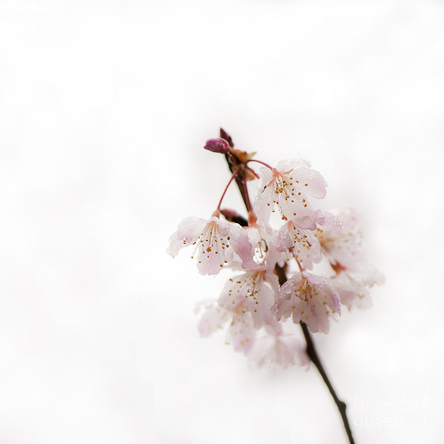 Floral Photograph - Soft Cherry Plum by Anne Gilbert