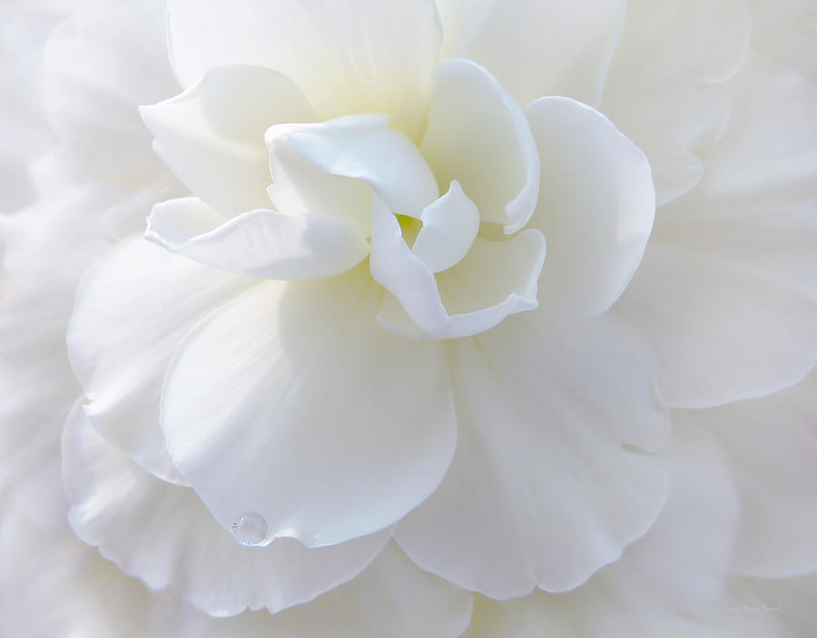 Soft Ivory Begonia Flower Photograph