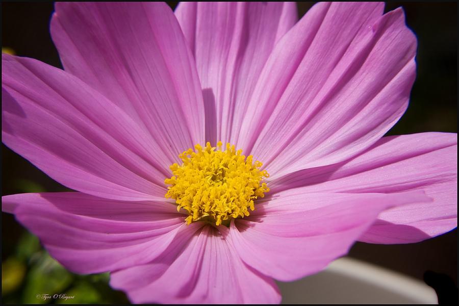 Soft Petals Photograph