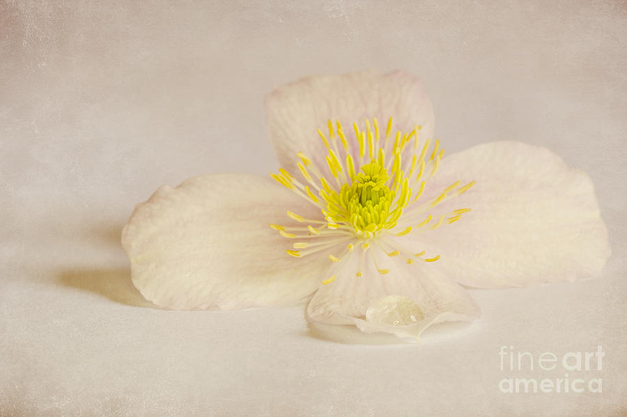 Soft Pink Flower Photograph