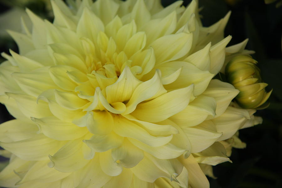 Soft Yellow Dahlia Photograph