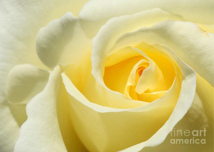 Soft Yellow Rose Photograph