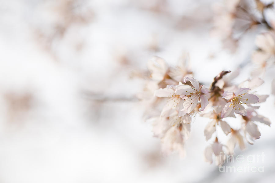 Art Photograph - Softly Blossom by Anne Gilbert