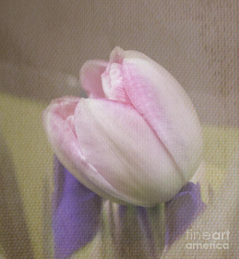Softly Tulip Photograph