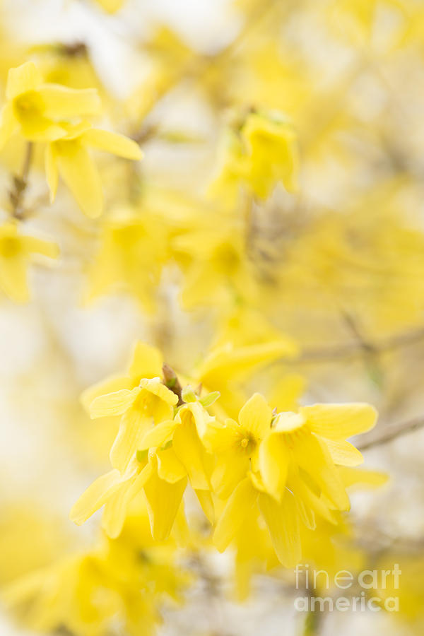 Softly Yellow Photograph