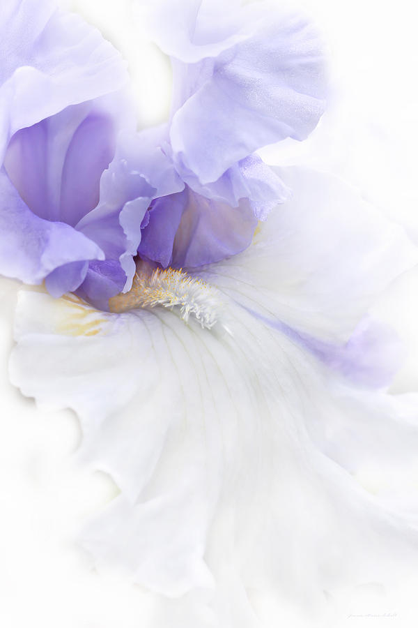 Softness Of A Lavender Iris Flower Photograph  - Softness Of A Lavender Iris Flower Fine Art Print