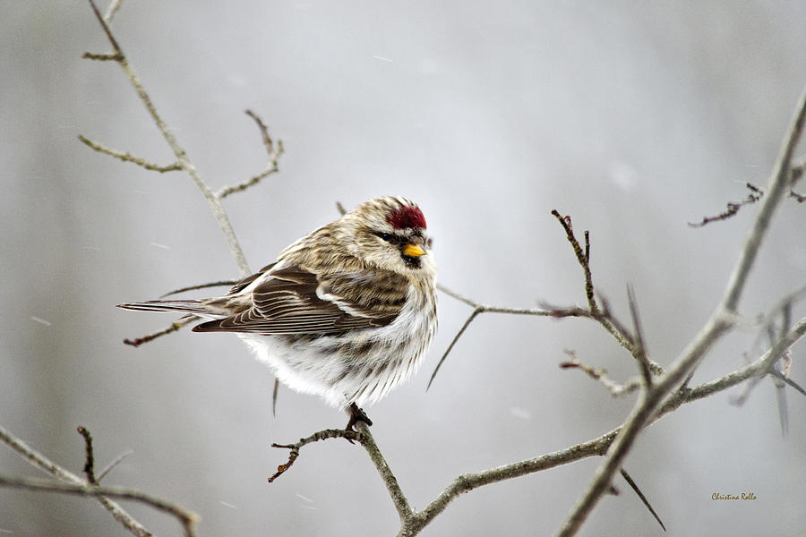 Solitary Redpoll Photograph