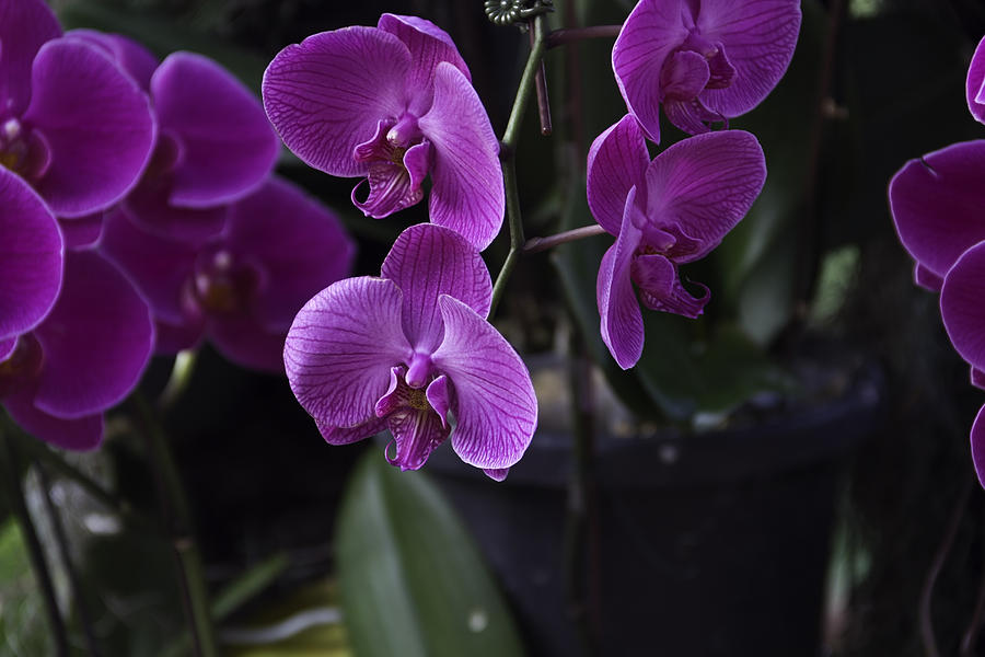 Some Very Beautiful Purple Colored Orchid Flowers Inside The Jurong Bird Park Photograph