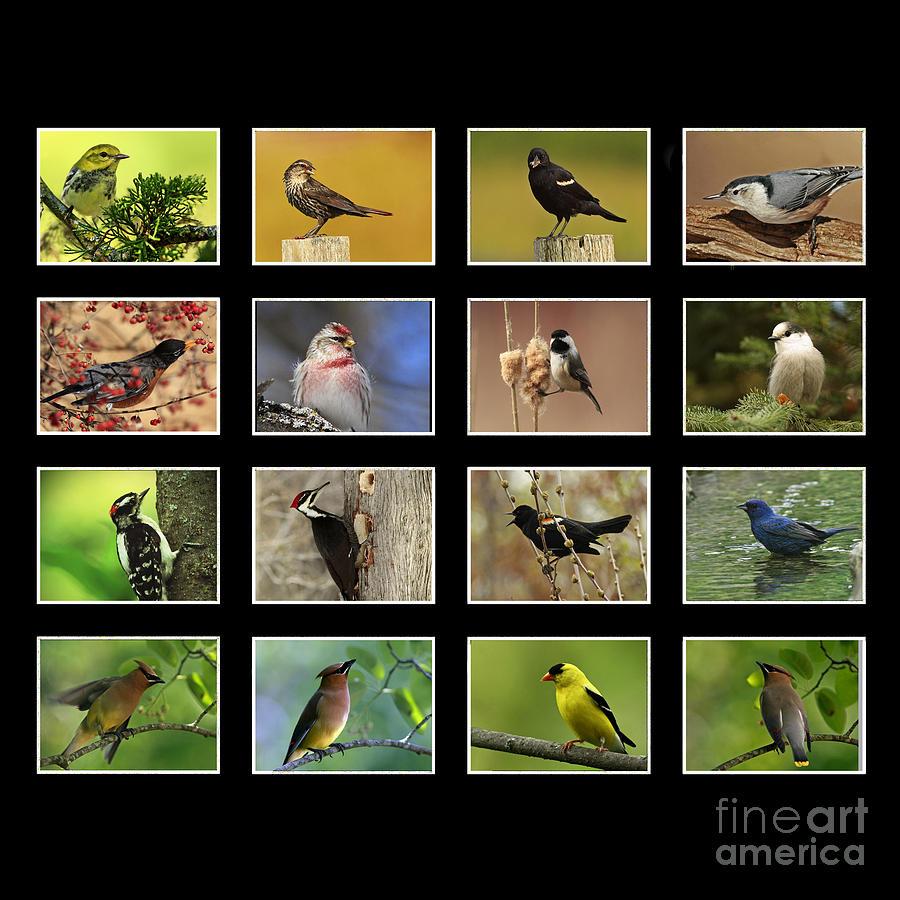 Canada Birds