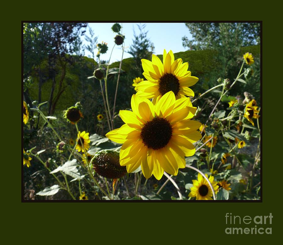 Song Of The Sunflower Photograph