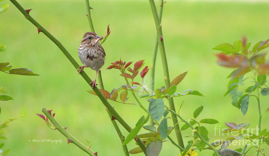 Bird Photograph - Song Sparrow by Rima Biswas