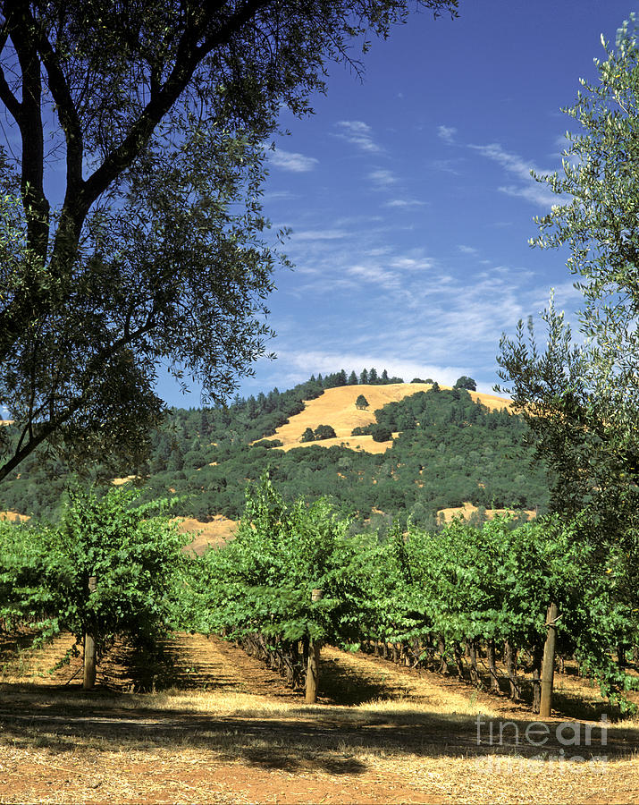 Sonoma Valley Vineyard Photograph