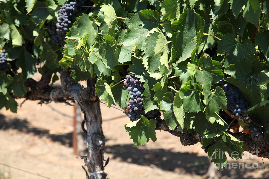 Sonoma Vineyards In The Sonoma California Wine Country 5d24488 Photograph