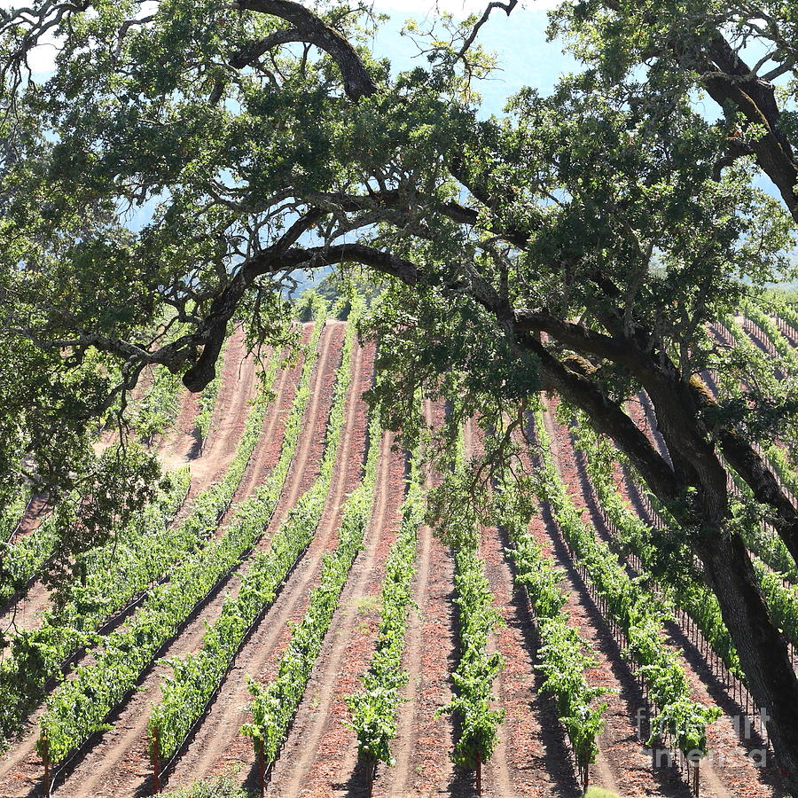 Sonoma Vineyards In The Sonoma California Wine Country 5d24619 Square Photograph