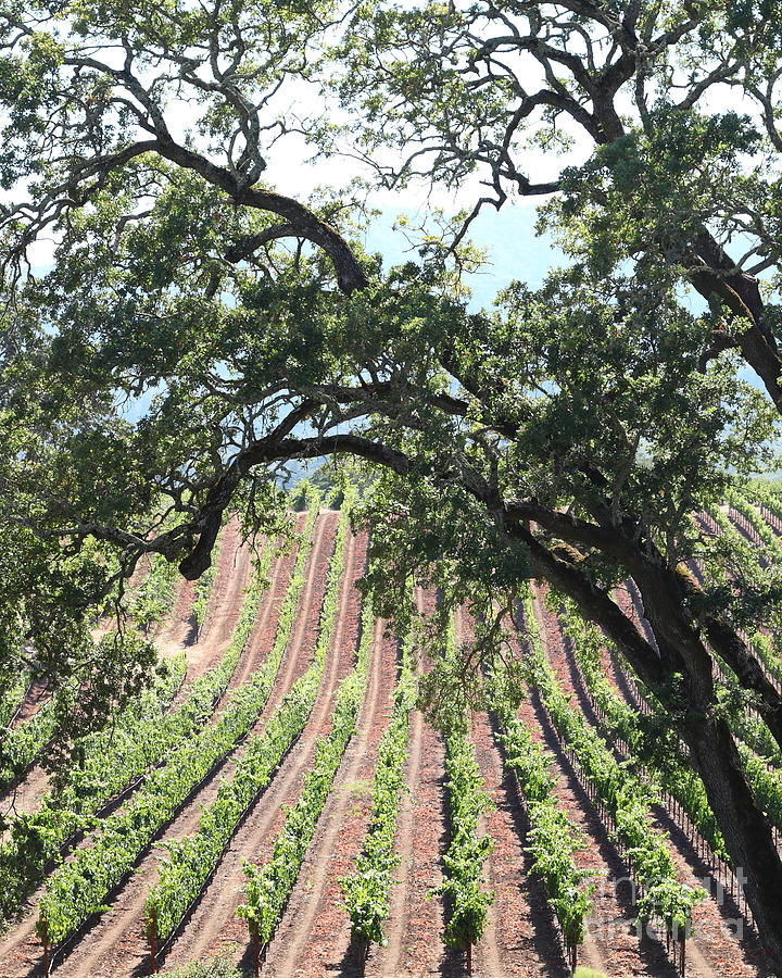 Sonoma Vineyards In The Sonoma California Wine Country 5d24619 Vertical Photograph