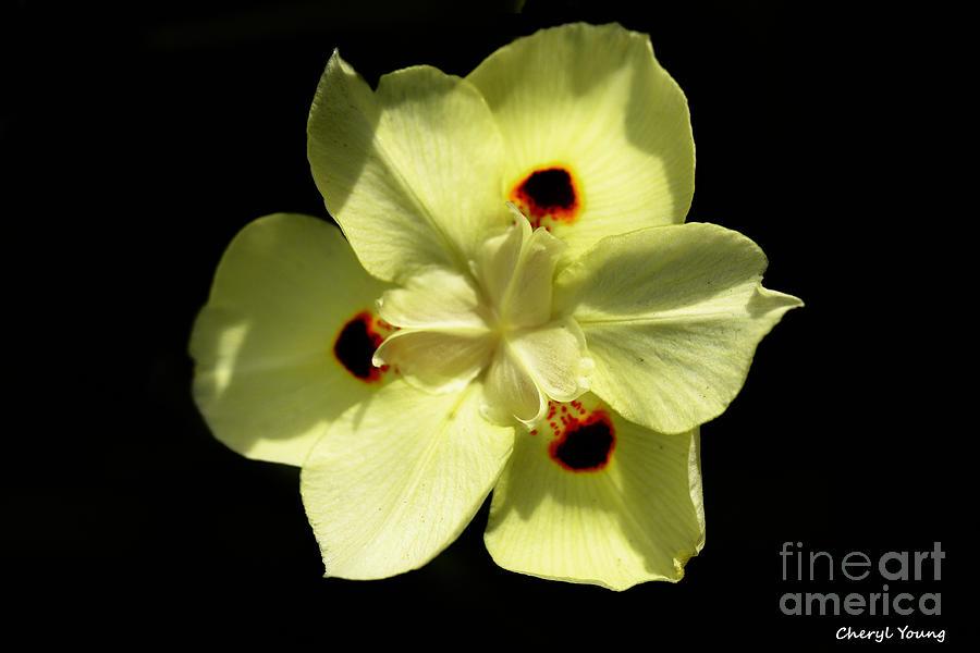 South African Iris Photograph