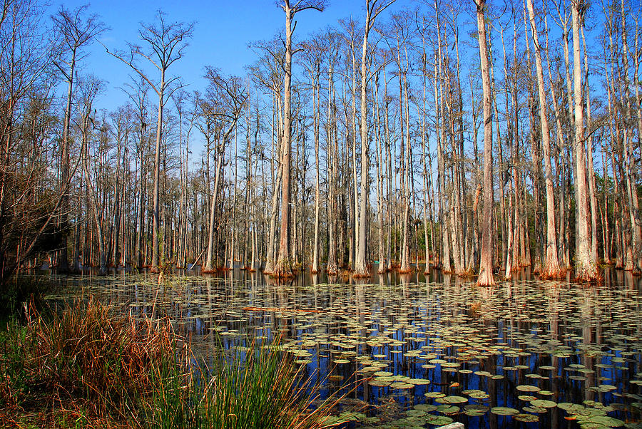 Pretty shower curtain - South Carolina Swamps Is A Photograph By Susanne Van Hulst Which Was