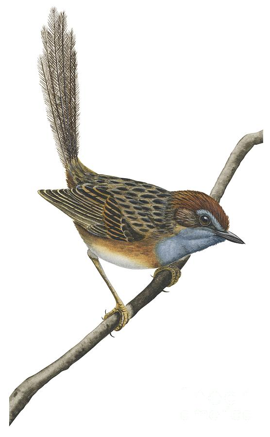 No People; Vertical; Full Length; White Background; One Animal; Animal Themes; Illustration And Painting; Southern Emu-wren; Branch; Perching; Bird; Stipiturus Malachurus Drawing - Southern Emu Wren by Anonymous