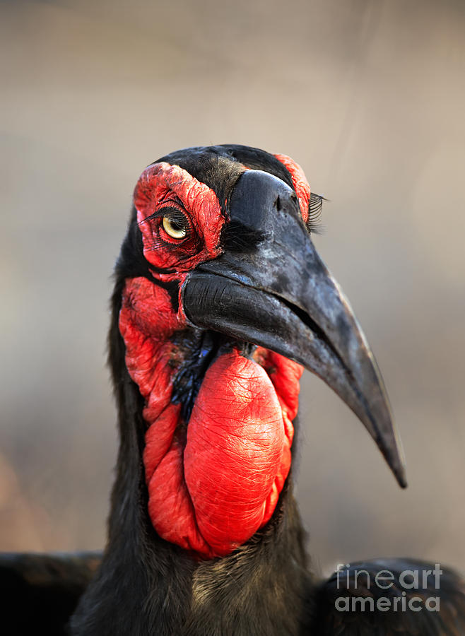 Southern Ground Hornbill Portrait Photograph