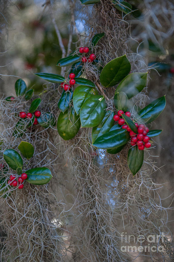 Spanish Moss And Red Berries Photograph