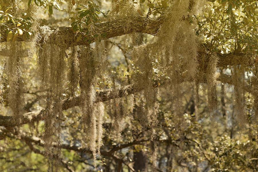 Spanish Moss On Live Oaks Photograph