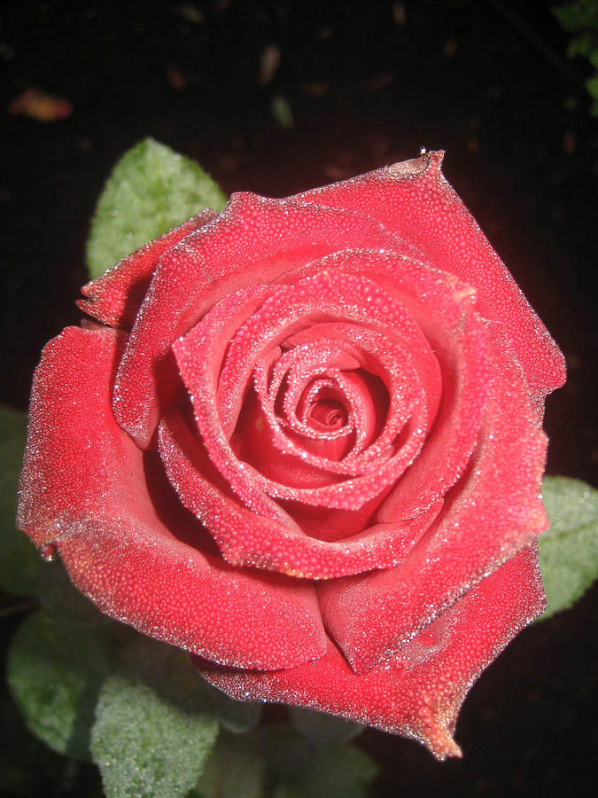 Sparkling Red Rose Photograph