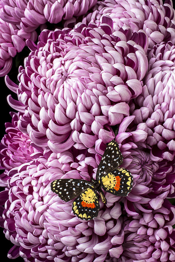 Speckled Butterfly On Red Mum Photograph