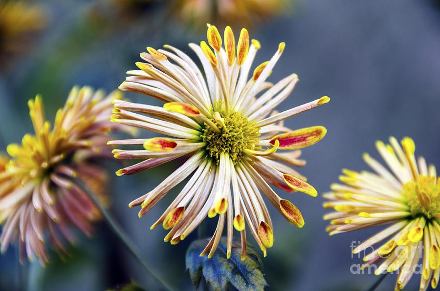 spoon chrysanthemums photograph by pravine chester