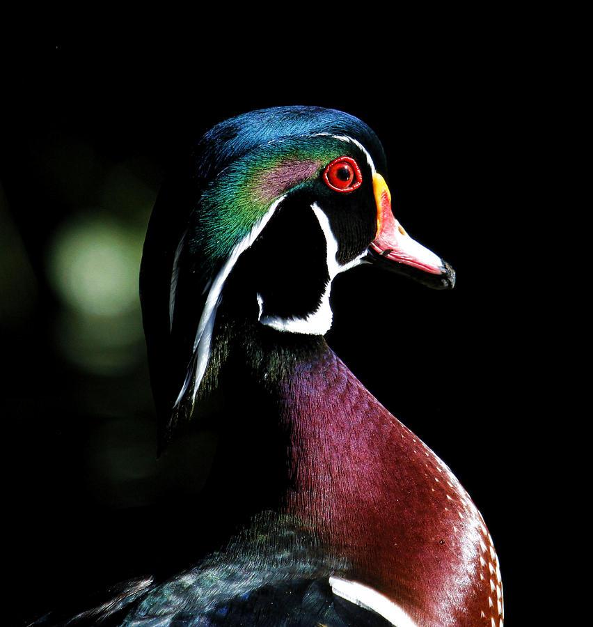 Spotlight Wood Duck Photograph