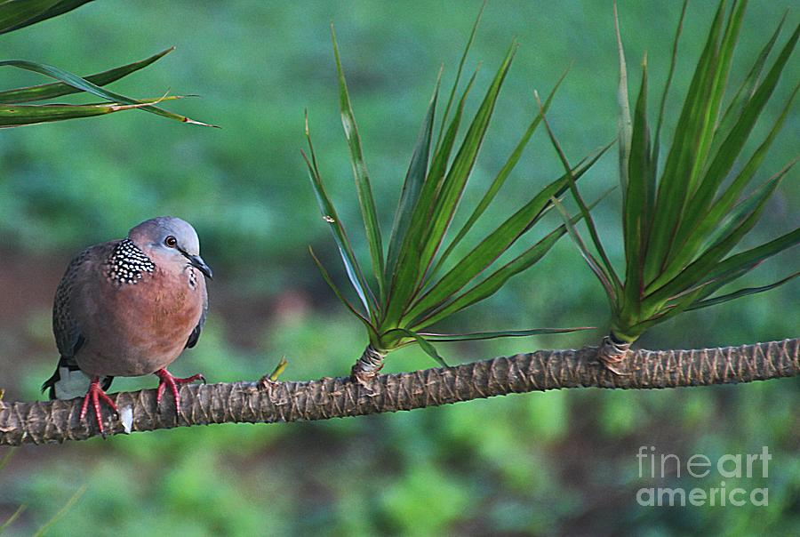 Spotted Dove Photograph  - Spotted Dove Fine Art Print