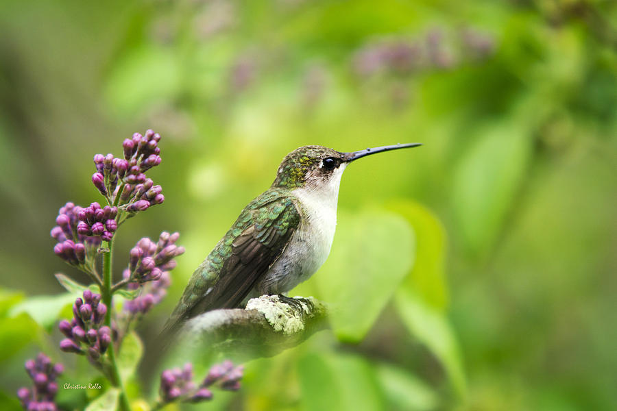Spring Beauty Ruby Throat Hummingbird Photograph