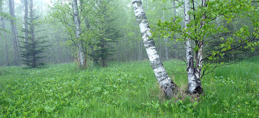 Spring Birch Photograph