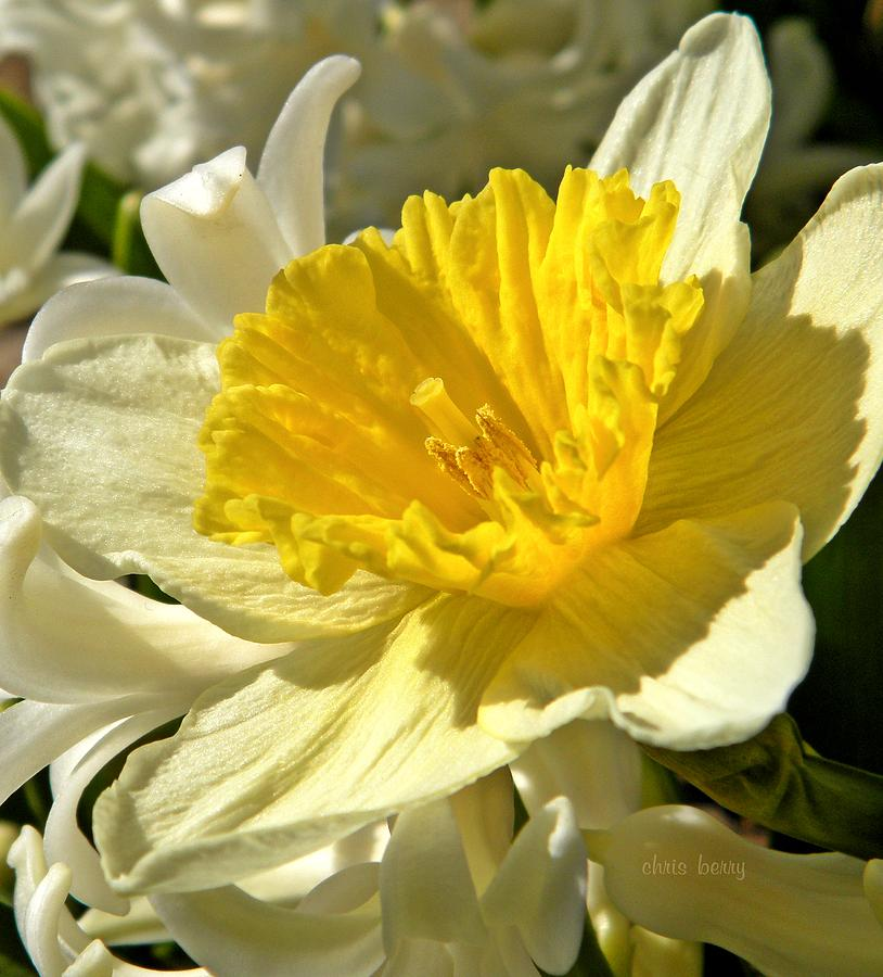Narcissus Photograph - Spring Bloomers by Chris Berry