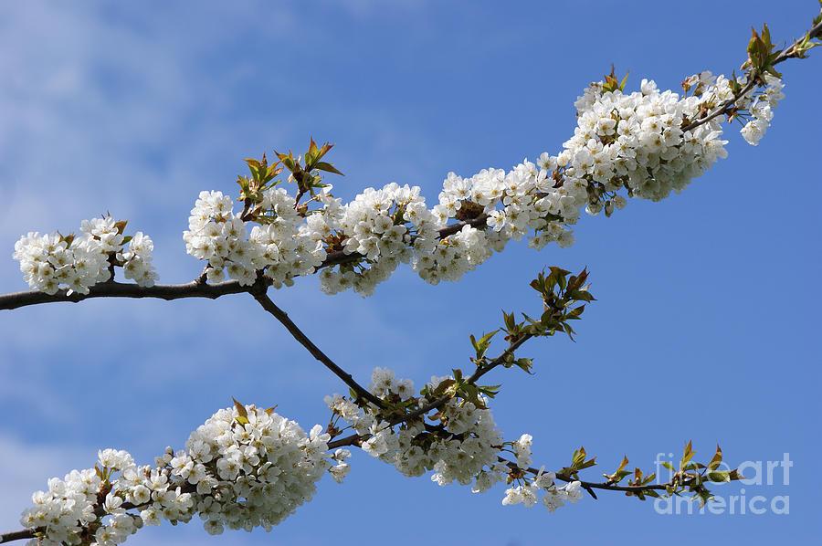 Spring Photograph - Spring Blossoms 6 by Carol Lynch