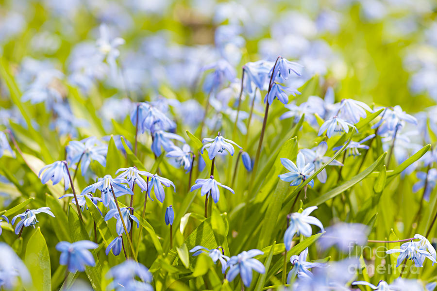 Spring Blue Flowers Glory-of-the-snow Photograph