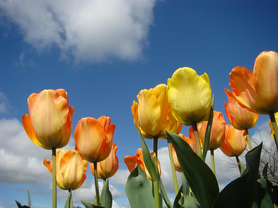 Spring Blue Sky White Clouds Orange Tulip Flowers Photograph