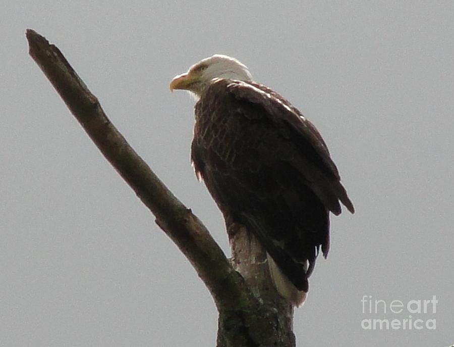 Spring Eagle X Photograph